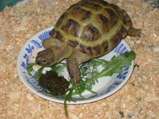 Уход в домашних условиях за сухопутной черепахой