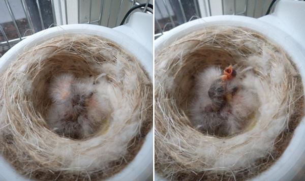 Как сделать гнездо для канареек