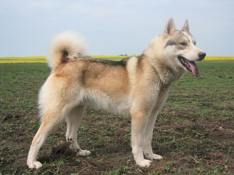 фото собак лайка