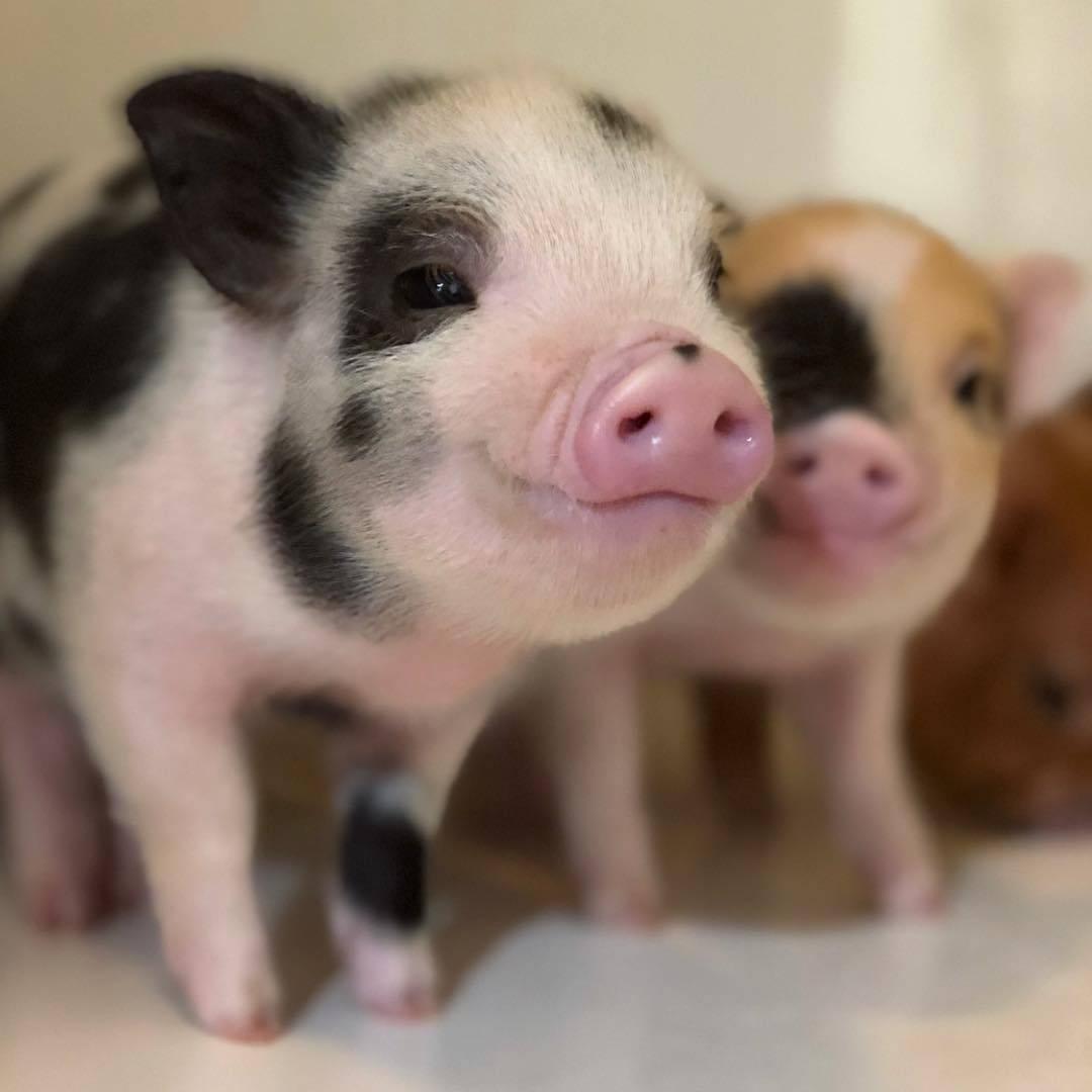 акции фото большая мини свинка желаю тебе